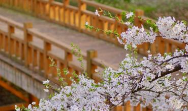 fleurs cerisier japon pont bois mars