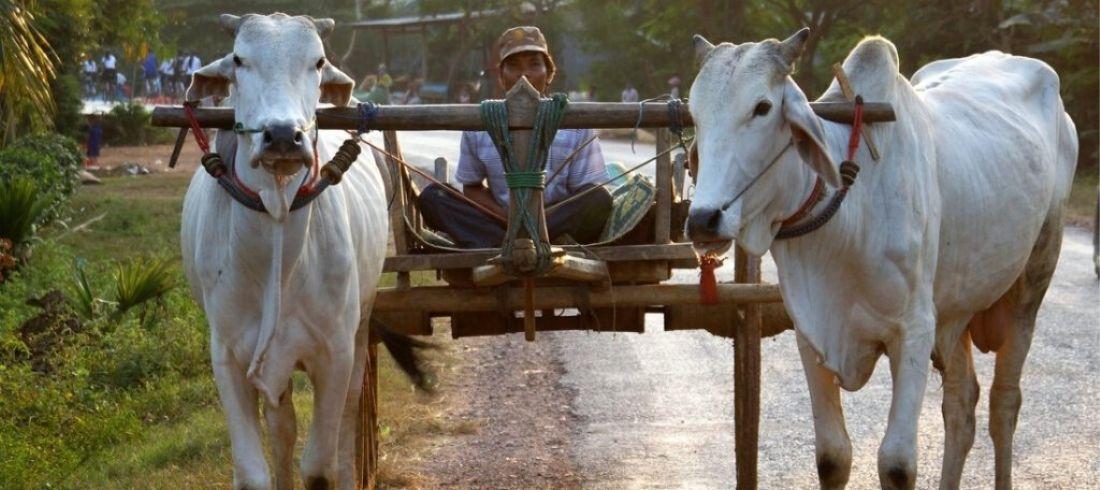 Balade en charrette à bœufs dans la campagne de Battambang - Voyage Cambodge