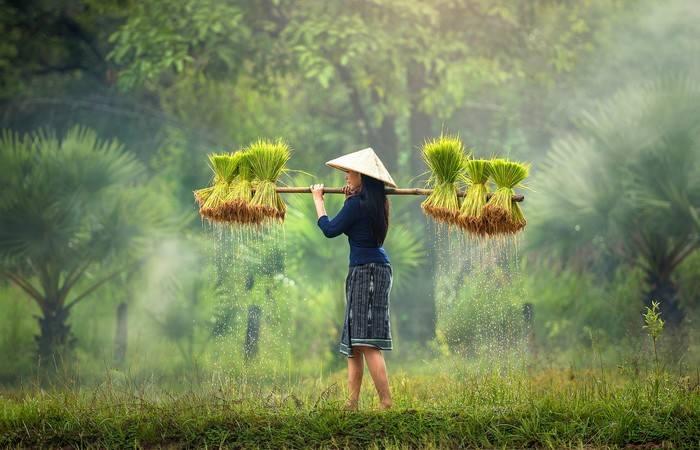Femme campagne rizières Myanmar Birmanie