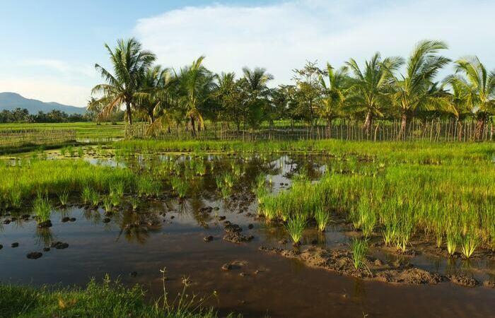 Rizières Kampot Cambodge plantations poivre