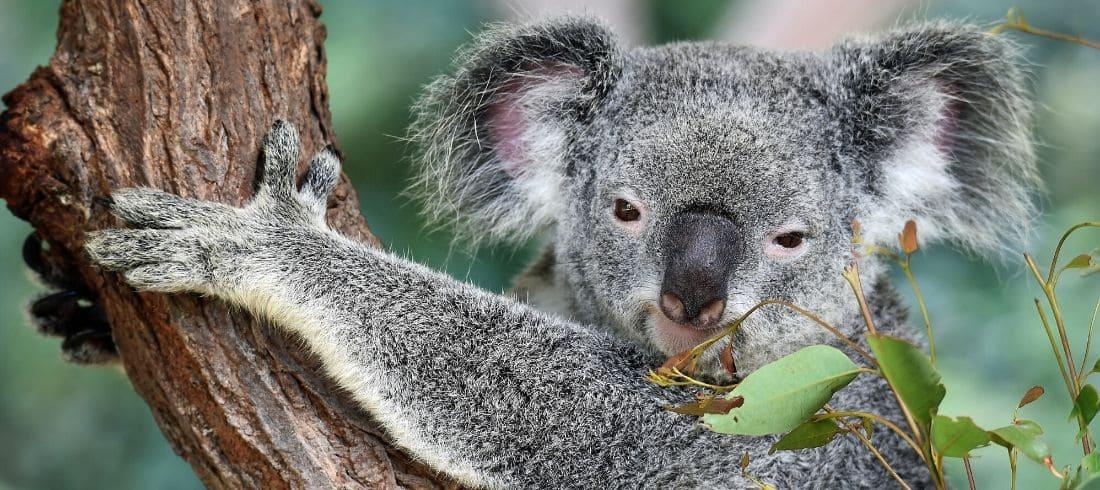Koala - Voyage Australie - Asie Online