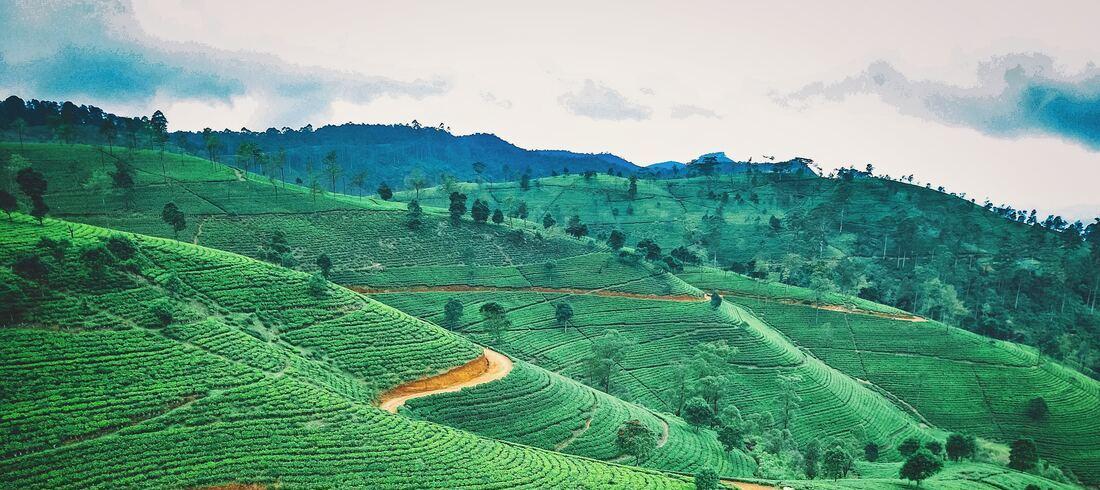 Plantations de thé Lipton Seat Nuwara Eliya