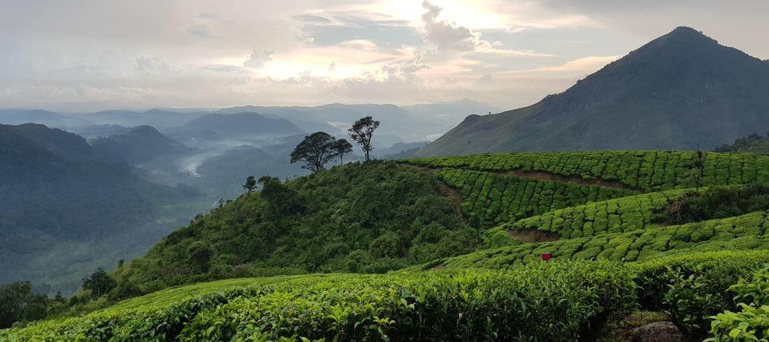 Plantations de thé Munnar Kerala Sud Inde
