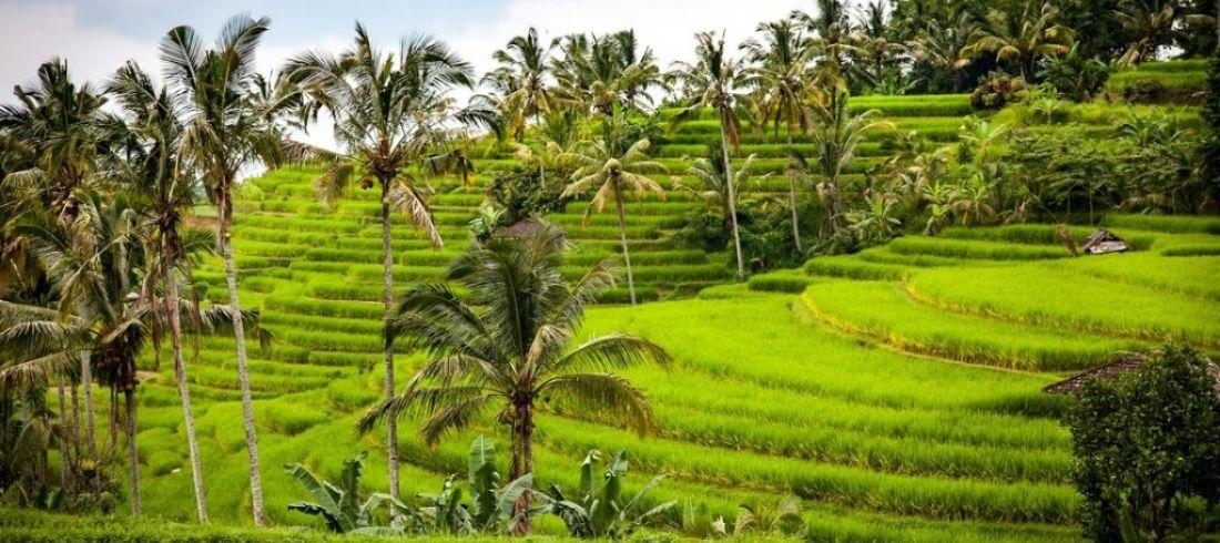 Rizières Ubud Bali