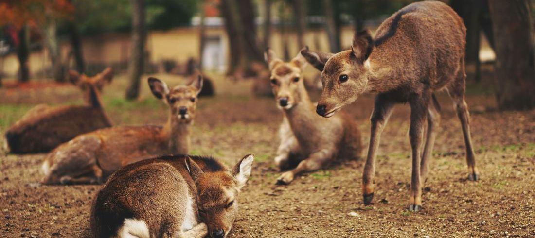 Daims parc Nara