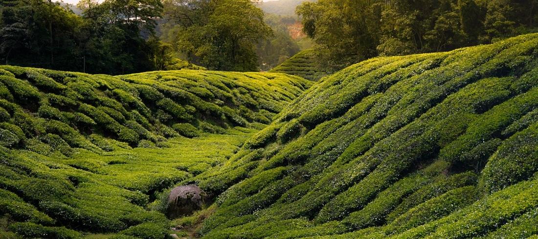 Plantations de thé aux Cameron Highlands - voyage Malaisie