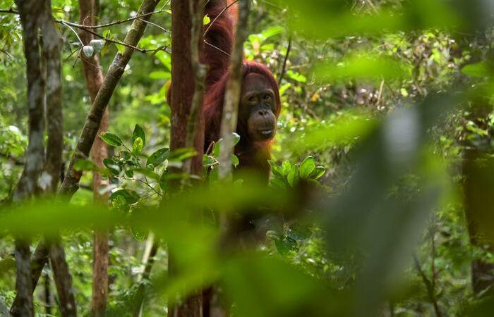 Bornéo Malaisie Kuching singe Orang outan