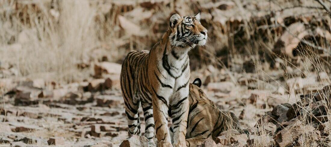 Tigres du Bengale au parc National de Ranthambore - voyage Inde