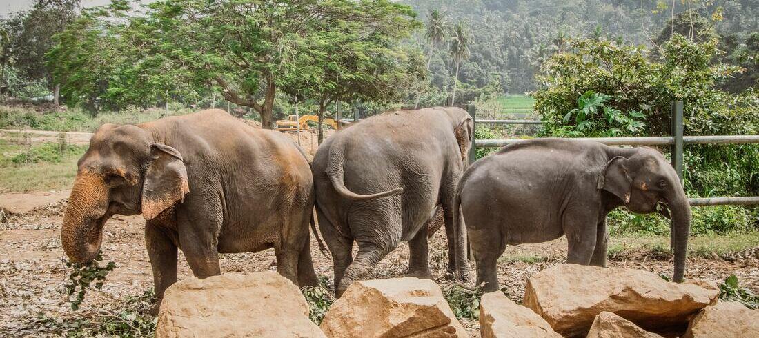 Eléphants - voyage Sri Lanka