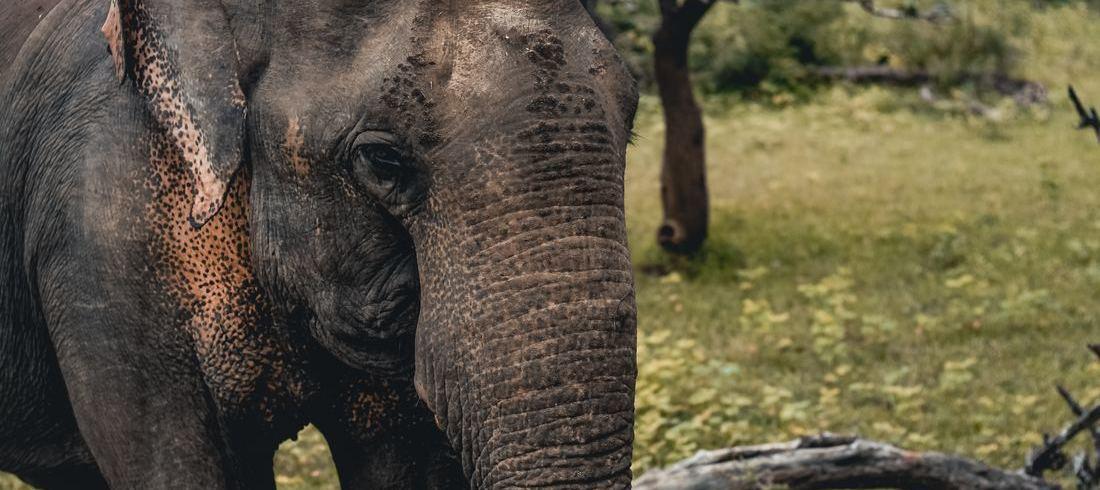 Eléphant Parc National Uda Walawe