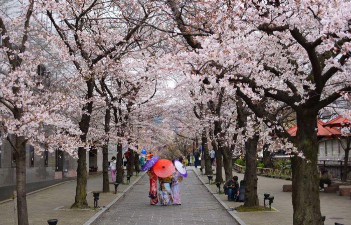 Cerisiers fleurs Japon Kyoto Tokyo