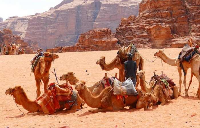 Chameaux désert Wadi Rum Jordanie