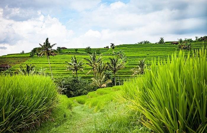 Rizières Bali Jatiluwih verdoyante nature