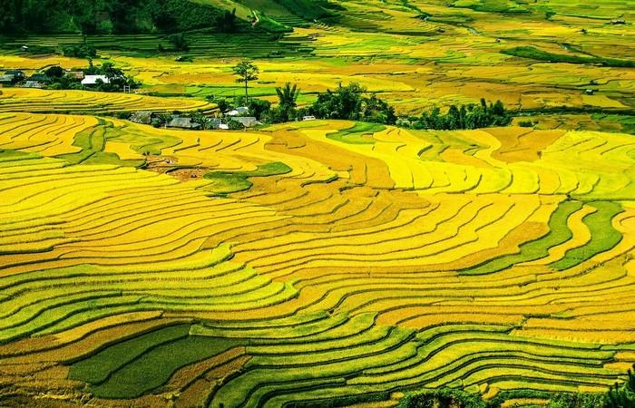 Rizières jaunes Tonkin Vietnam Laos
