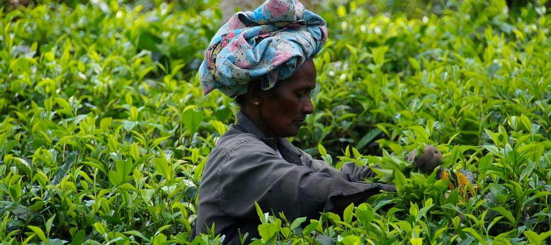 Plantations thé Sri Lanka