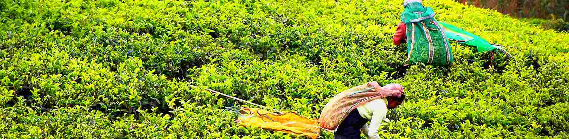 Plantations thé Sri Lanka cueilleuses - Asie Online